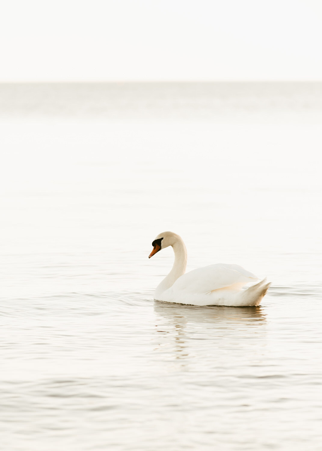 a swan in the evening on Lake Ontario at Cherry Beach