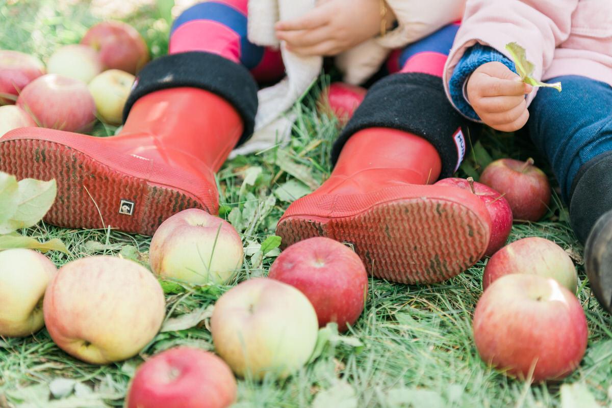 fallen apples at the farm