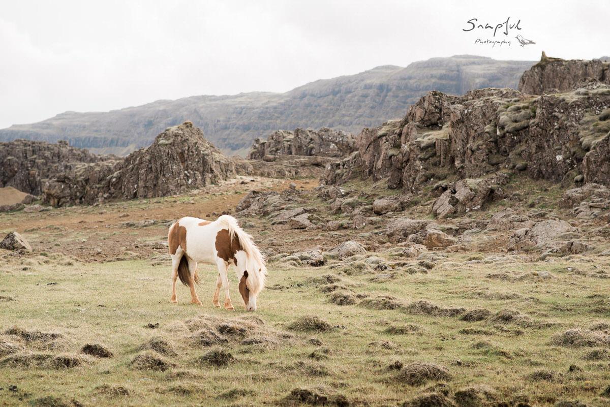 Icelandic Horse in lava fields